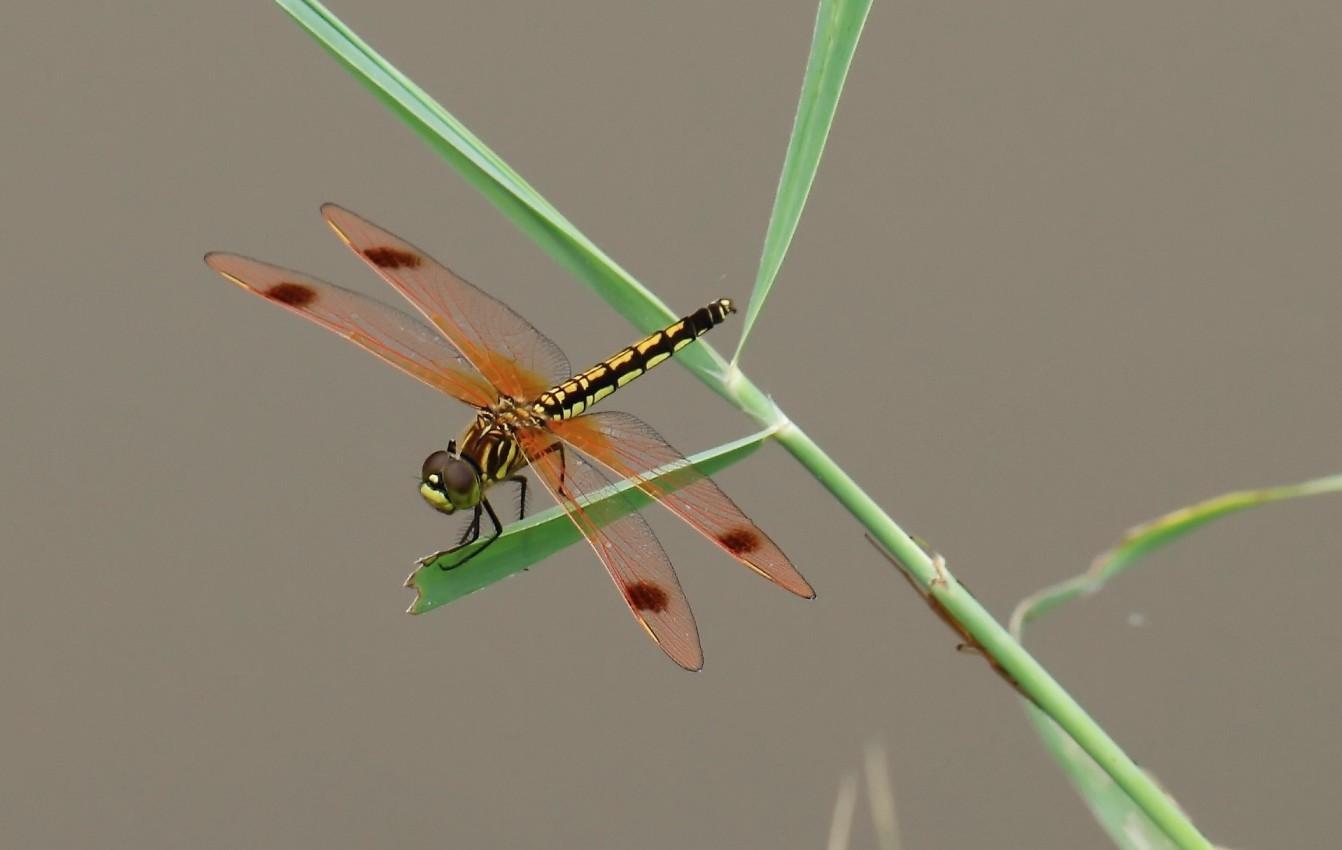 虫!昆虫学方面.这种 蜻蜓 是什么品种?图片