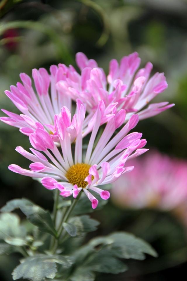 菊花图片及名称大全菊花品种图片及名称菊花种类及图片菊花种类名称