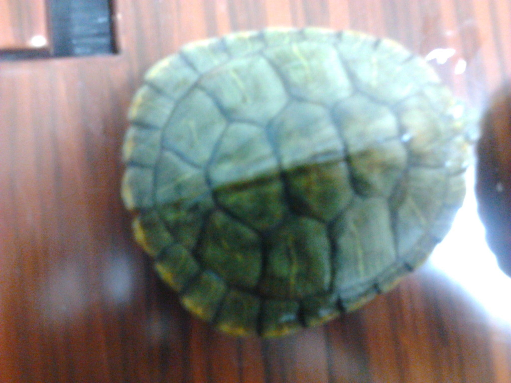 乌龟公母求分辨图片