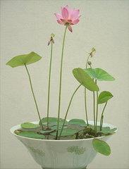 谁知道碗莲的种植方法