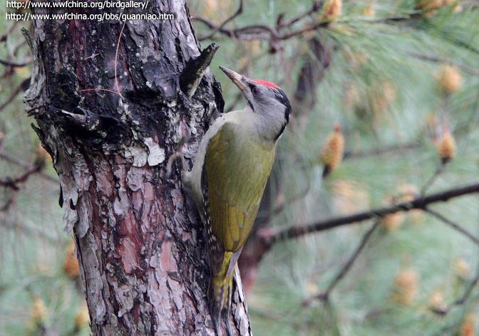 今天抓到一只.周身绿毛灰头头顶为红毛的鸟..嘴和 ...