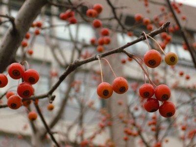 求该植物名称,在路边看到的长小红果的树,11月底拍的,无叶子