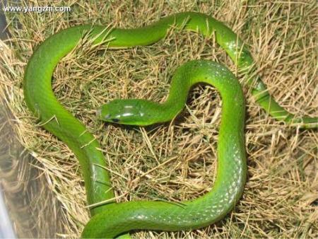 莽山烙铁头蛇