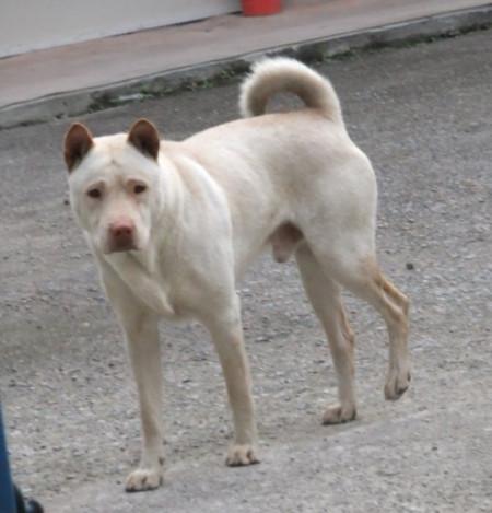 这是什么狗?是下司犬吗