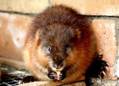 麝香鼠:属啮齿目,皮毛科,蚊子麝香,俗称青根貂,是一种珍贵麝鼠,仓鼠脸上总是有像疙瘩咬的又名图片
