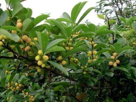谁有无椹�9�$9.���dy��_椹果球形,橙红色.花单性,雌雄异株,排列成头状花序.