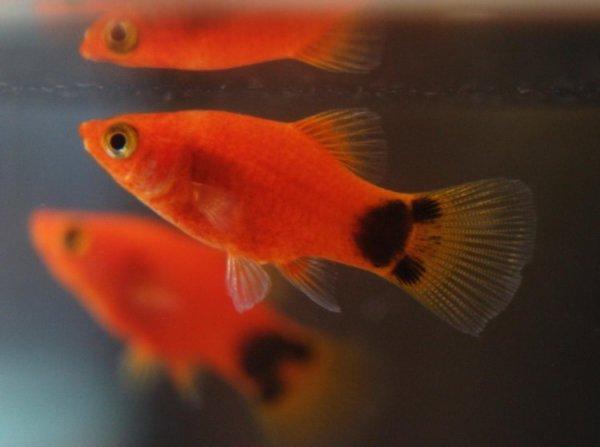 米奇鱼怎么分公母图片