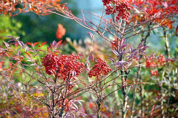 种红树叶 结小红果的观赏植物叫什么名字