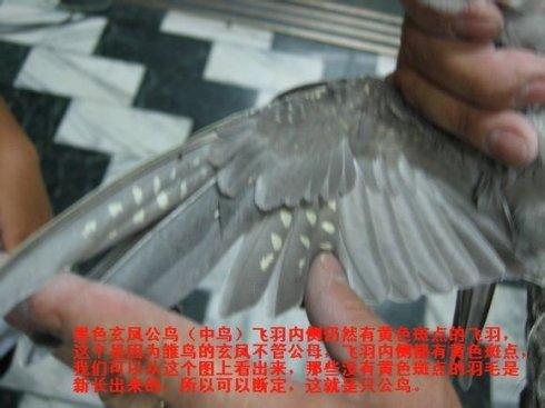 玄凤 鸡尾 鹦鹉怎么分公母,大小图片