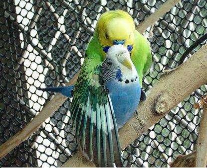谁有很可爱的虎皮鹦鹉的图片啊 还有虎皮鹦鹉怎么分公母图片