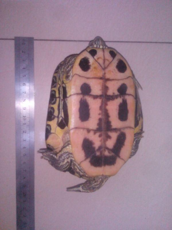 急,请问这两只乌龟分别是什么品种 是公还是母 可不可以交配繁殖