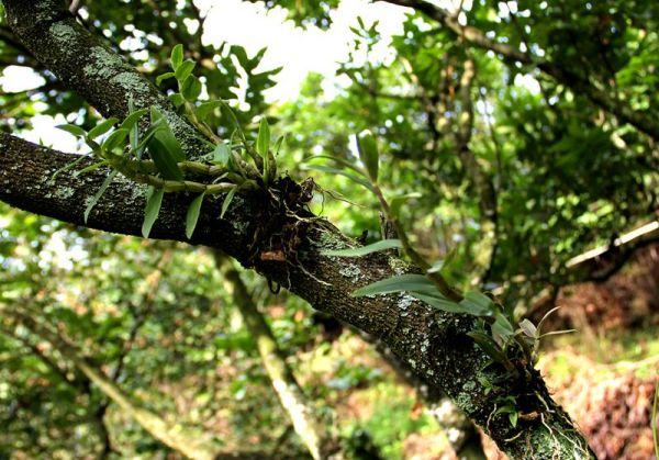 长在树上的兰兰花叫什么名字