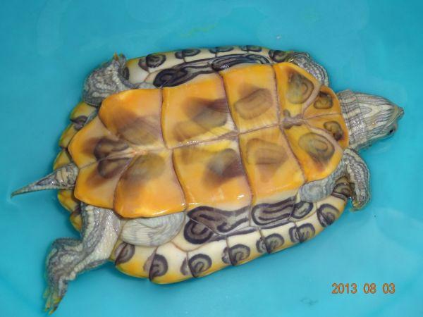 巴西龟怎么分辨公母图片