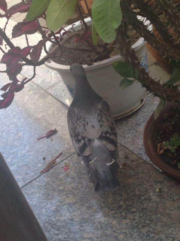 那只是公鸽子,那只是母鸽子图片