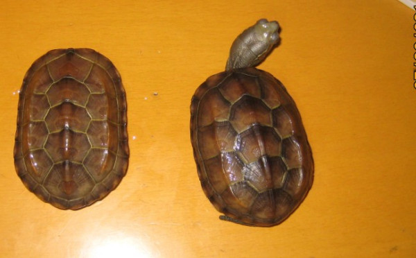 草龟怎么分公母图片