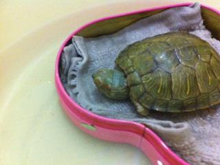 彩龟我想知道它冬眠是什么样的 我的现在不怎么喜欢动了 双眼紧闭
