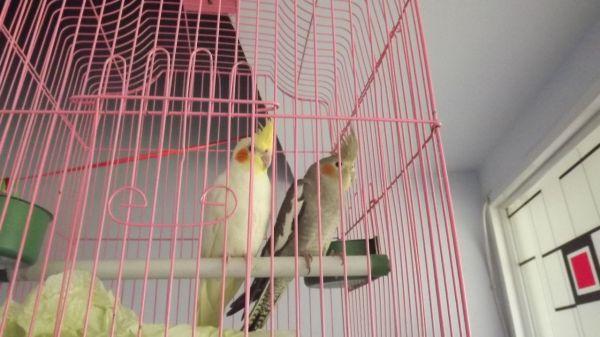 玄凤鹦鹉怎么分公母图片
