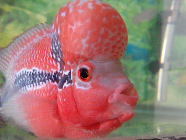 请问这尾罗汉鱼是公还是母的图片