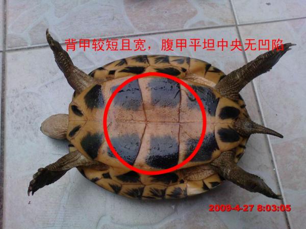 乌龟怎么分公母图片