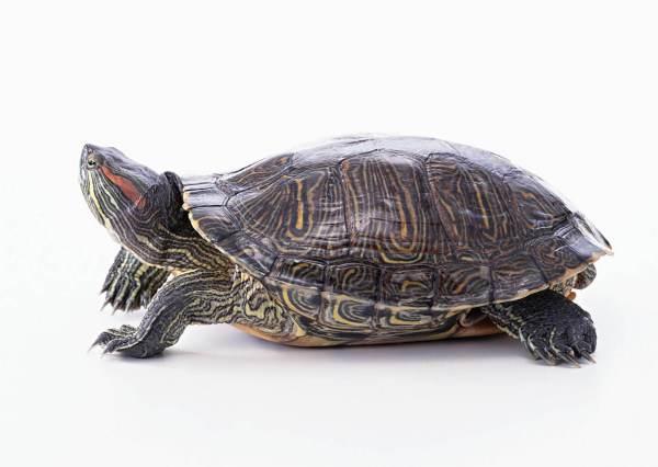 巴西乌龟长什么样