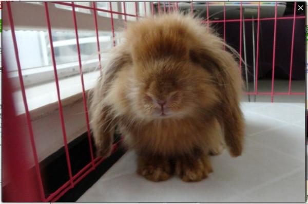 怎么分辨垂耳兔的年龄公母呢图片
