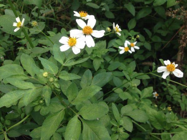 五个白色花瓣,花蕊是黄色的是什么花
