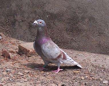 鸽子有哪些种类图片