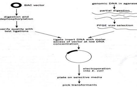 bac载体为什么要脱磷?