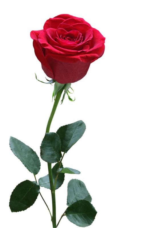 红玫瑰长裙 长发美少女分享展示
